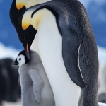 emperor penguin family - Snow Hill Island