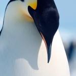 majestic emperor penguin - Snow Hill Island