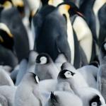 Antarctic poo... / emperor penguins - Snow Hill Island