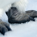 Antarctic feet / emperor penguin - Snow Hill Island