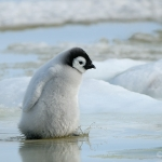 emperor penguin chick - Snow Hill Island