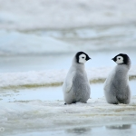 little friends / emperor penguins - Snow Hill Island