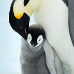 emperor penguin mum (dad) and chick - Snow Hill Island