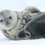 weddell seal mum and pup - Snow Hill Island
