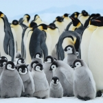 huddle no trouble / emperor penguins - Snow Hill Island
