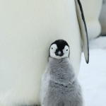 little emperor penguin chick - Snow Hill Island
