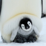 cozy... / emperor penguin - Snow Hill Island