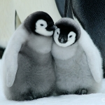 chick couple / emperor penguins - Snow Hill Island