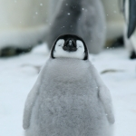 in the snow / emperor penguin - Snow Hill Island
