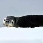 leopard seal on the ice - near Astrolabe Island
