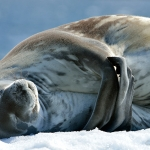 weddell seal - Mikkelsen Harbour