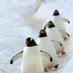 Happy feet / gentoo penguins walking on their penguin highway - Danco Island