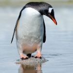 gentoo penguin on a rock - Neco Harbour