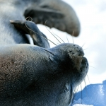 weddel seal - Neco Habour