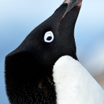adelie penguin - Yalour Islands