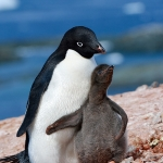 adelie penguin mum (dad) and chick - Yalour Islands