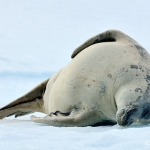 crabeater seal - near Portal Point