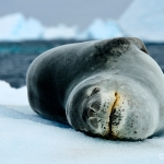 leopard seal - near Portal Point