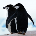 chinstrap penguin couple - Hydrurga Rocks