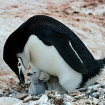 chinstrap penguin mum (dad) and chicks - Hydrurga Rocks