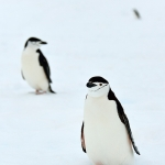 chinstrap penguins - Hydrurga Rocks
