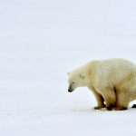 Arctic poo... / polar bear - Churchill