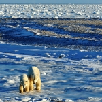 polar bear mum and cub - Churchill
