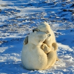 male polar bears - Churchill