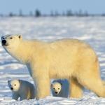 polar bear mum and cubs - Churchill