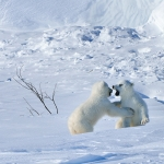 polar bear cubs playing - Churchill