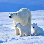 polar bear mum and cubs - Churchill