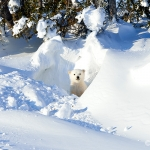 polar bear cub in a den - Churchill