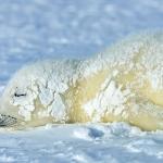 harp seal pup after blizzard - Iles de La Madeleine