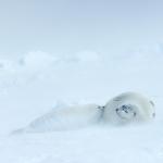 harp seal mum nursing her pup in blizzard - Iles de La Madeleine