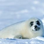 harp seal pup molting - Iles de La Madeleine