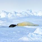 harp seal mum and pup - Iles de La Madeleine