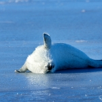 harp seal pup on thin ice - Iles de La Madeleine