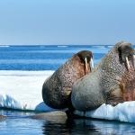 walruses - Igloolik