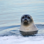 curious common seal - Igloolik