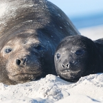 southern elephant seal mum and pup - Sea Lion Islands