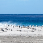 gentoo penguins - Sea Lion Islands