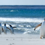 coming back / gentoo penguins - Sea Lion Islands