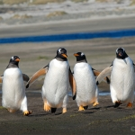 rushing home / gentoo penguins - Sea Lion Islands