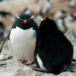 rockhopper penguin couple - Sea Lion Islands