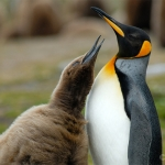 More food!! / king penguins - Volunteer Point