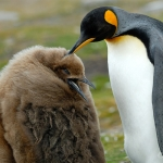 Stop it!! / king penguins - Volunteer Point