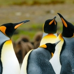 king penguins - Volunteer Point