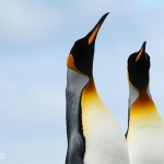 king penguin couple - Volunteer Point