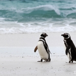 magellanic penguins - Volunteer Point