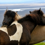 itchy backs... / Icelandic horse - Skaftafell